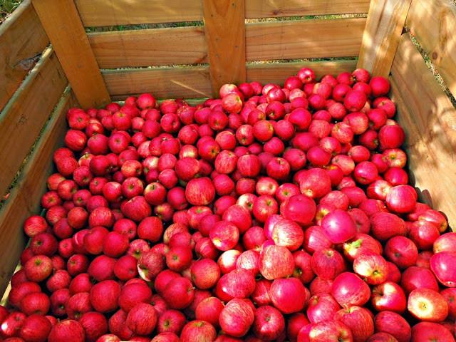 Royal Gala jablka Motueka