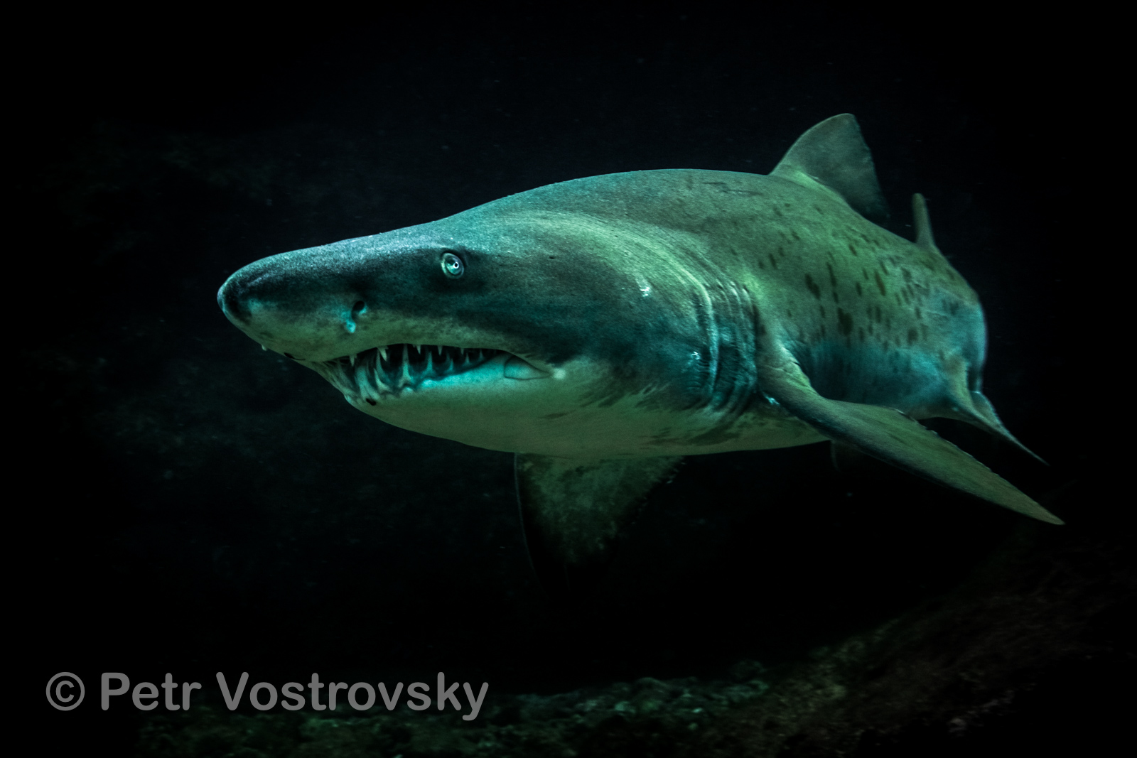 Žralok písečný. Jihoafrická republika, Aliwal Shoal
