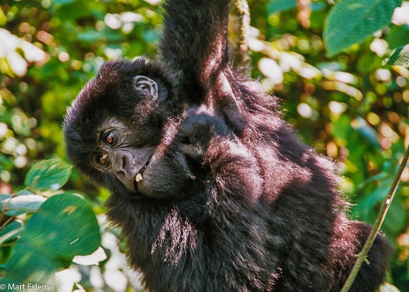 Mladá gorila ve Rwandě