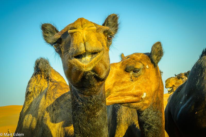 Velbloudi v Ománu