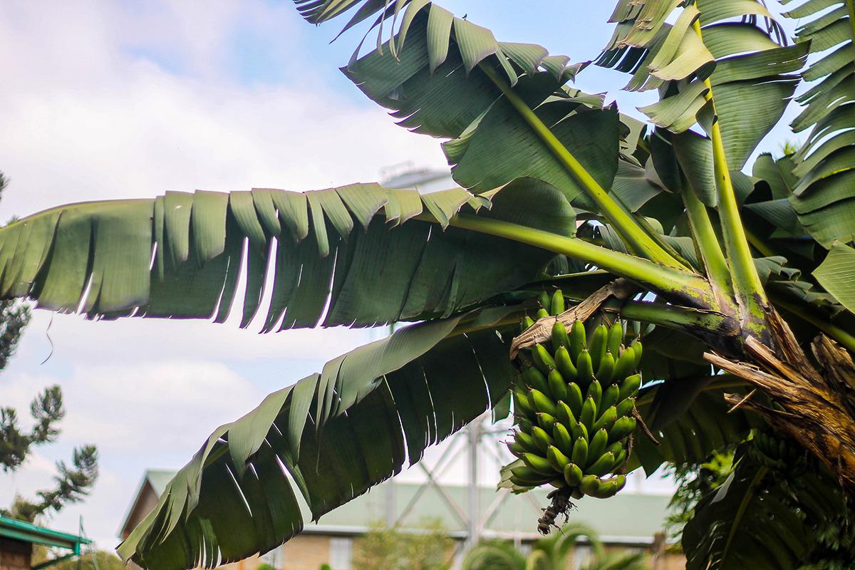 Palmy s banány jsou v Keni typickou pěstitelskou plodinou