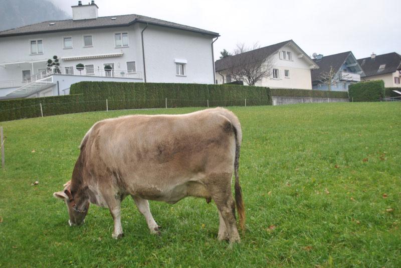 Kráva je běžnou součástí zahrad