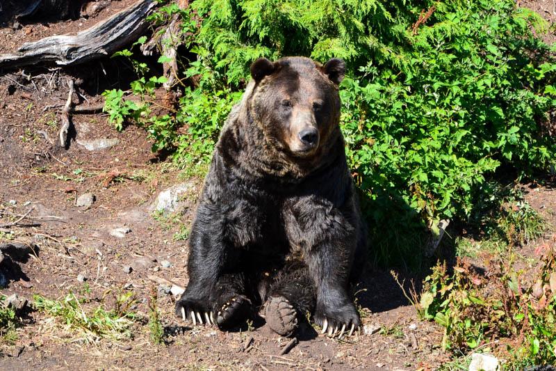 kanada medvěd