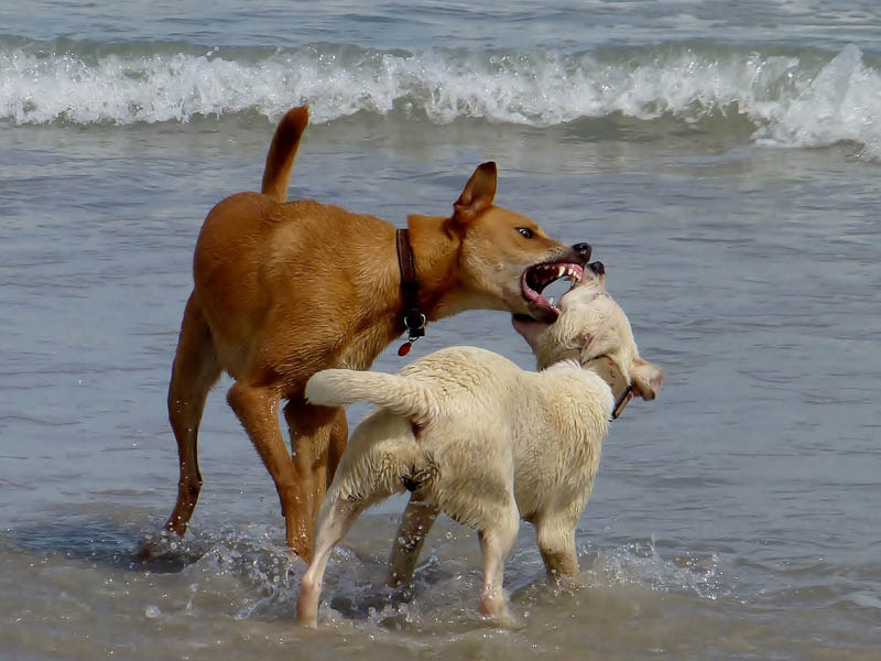 divoký pes